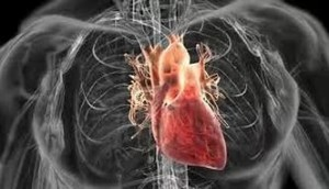 Сердце и бронхи