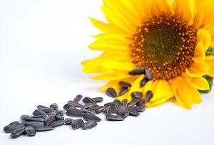 semena podsolnuha